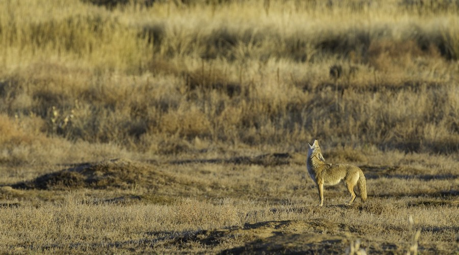 Save a Fawn, Hunt a Coyote